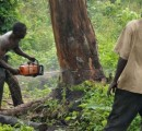 Ghana: 80% of the timber is illegally harvested