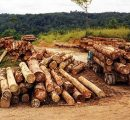 EU's illegal timber policy works, says FERN