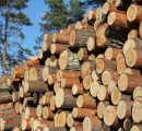Germany multiplies the export of softwood logs to China