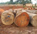 Central/West Africa: No recent major price movements for logs and sawnwood
