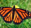 Mexico to close seven illegal sawmills in an effort to protect the monarch butterflies