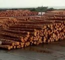 Ukraine bans exports of pine logs as of January 2017