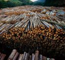 New import rules for US hardwood logs in EU