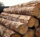 Prices for radiata pine logs under pressure in Chinese timber markets