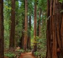 China's national standards committee revises redwood standards; recognized species down to 29 from 33