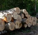 Russia to limit birch veneer logs exports from 2019
