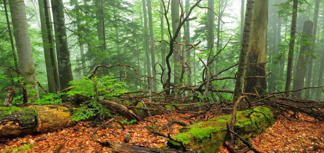 First map of the last primary forests in Europe released in Germany