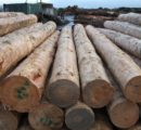 Price drops in exports of New Zealand logs to China