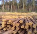 European softwood logs exports to China see a fivefold increase