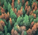 Germany's forests decimated by the bark beetle, drought
