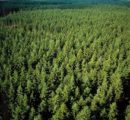 Calls for more softwood planting in Germany