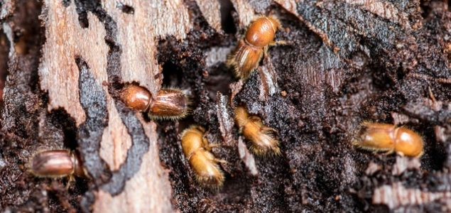 Bark beetles are ruining Swedish forests at a record pace
