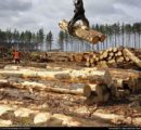 Supply concerns determine Chinese log buyers to pay more for New Zealand logs