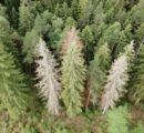 Södra sees a 25% increase in spruce bark beetle damage